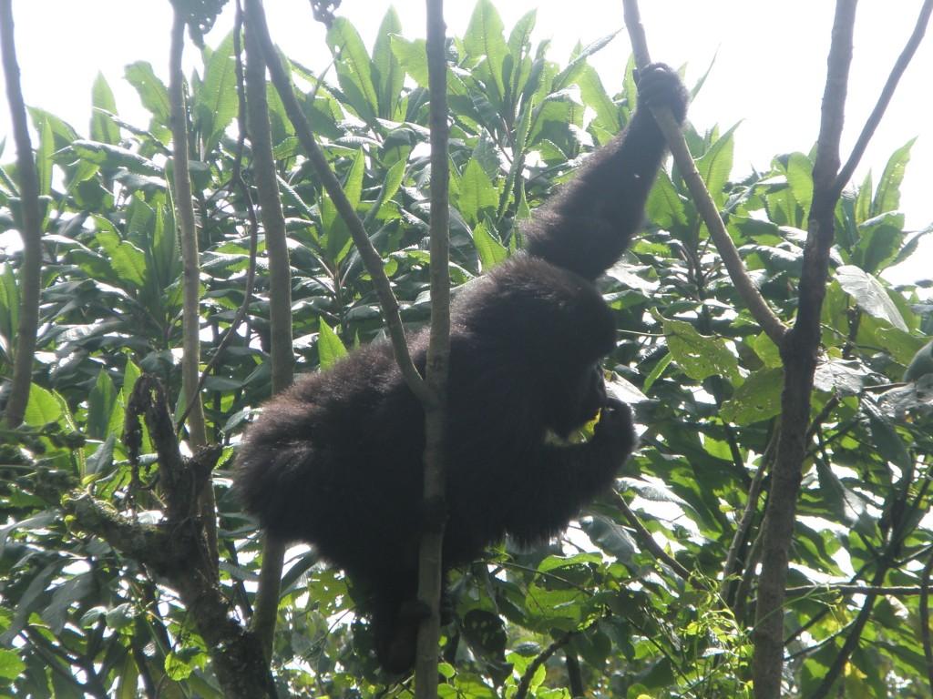 backpack, backpacking, budget, adventure, explore, U, university, world, campus, field, note, professor, Africa, Rwanda, mountain, Virunga, Volcano, gorilla, trek, hike, jungle, ape, forest, monkey